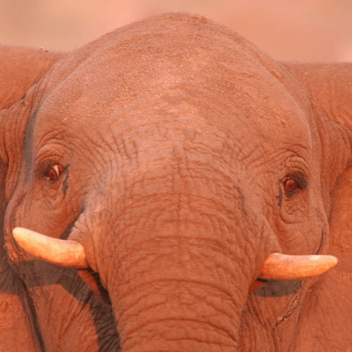 African Elephant Facts - Elephants For Africa