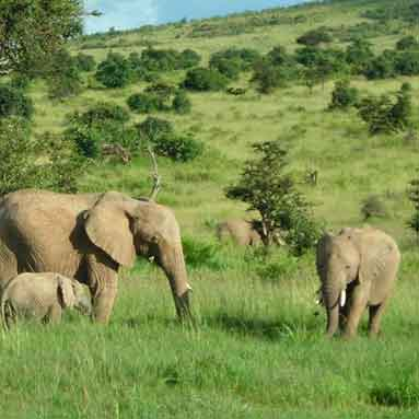 Peachy African Elephant Facts Elephants For Africa Gmtry Best Dining Table And Chair Ideas Images Gmtryco